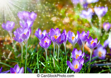 macro shot of Crocuses field with sunlight
