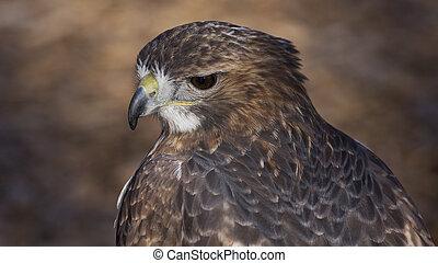Red Tail Hawk - Closeup portrait of a red tail hawk