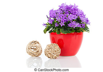 blue campanula flowers, on white background