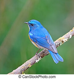 Himalayan Bluetail - Colorful blue bird, male Himalayan...