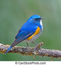 Himalayan Bluetail - Closeup of colorful bird, male...