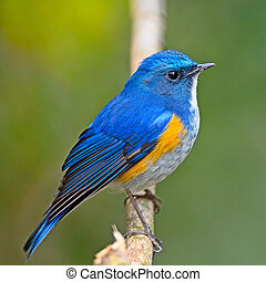 Himalayan Bluetail - Closeup of blue bird, male Himalayan...