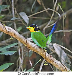 Long-tailed Broadbill - Colorful Broadbrill, Long-tailed...