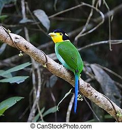 Long-tailed Broadbill - Beautiful Broadbrill, Long-tailed...
