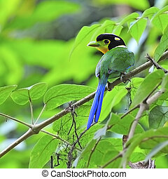 Long-tailed Broadbill - Beautiful Broadbrill, Long-tailed...