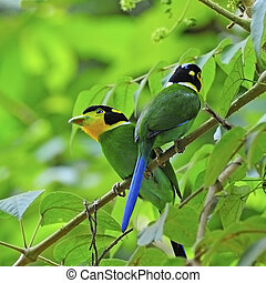Long-tailed Broadbill - Parents of beautiful Broadbrill,...