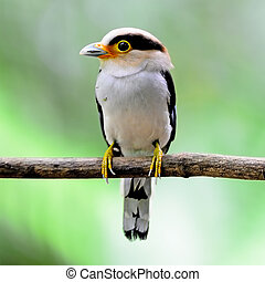 Silver-breasted Broadbill - Colorful Broadbill, male...
