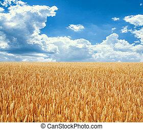 Ouro, trigo, campo, azul, céu
