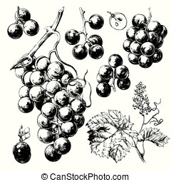 Wine grapes - Hand drawn illustrations of wine grapes