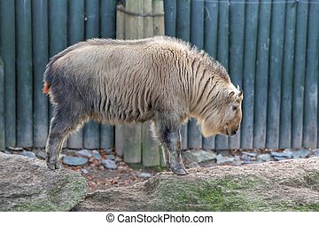 Golden Takin - Photo of the Golden Takin (Budorcas Taxicolor...
