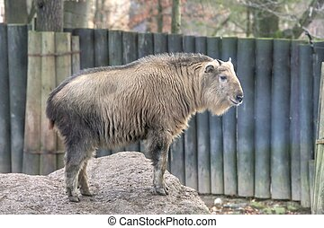 Golden Takin - Photo of the Golden Takin Budorcas Taxicolor...