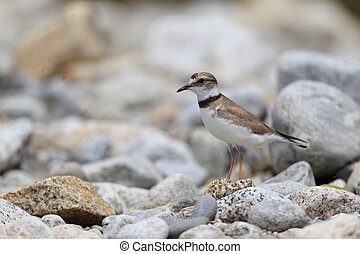 Long-billed Plover (Charadrius placidus) in Japan