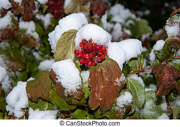 First snow and arrowwood red - First snow and arrowwood red,...