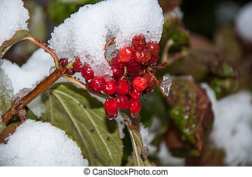 First snow and arrowwood red, 05102013, city of Orenburg,...
