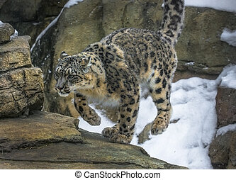 Snow Leopard - Close-up shot of a snow leopard - Panthera...