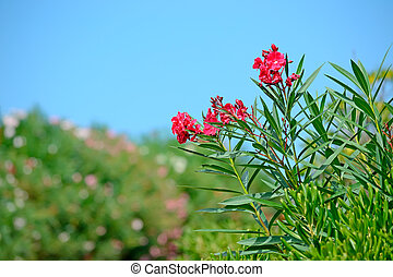 red oleanders on a clear day