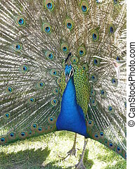 Peacock displaying tail feathers - Peacock displaying his...