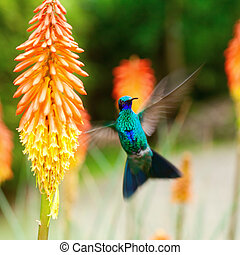 beautiful blue green hummingbird flying over a tropical...