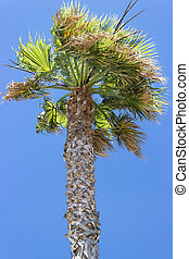 Old palm tree under the wind