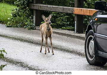 Deer on the road with car - young roa deer on the road with...