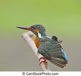 female Common Kingfisher - Happy bird, female Common...