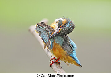 female Common Kingfisher - For feathering, female Common...