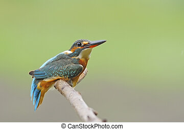 female Common Kingfisher - Cute bird, female Common...
