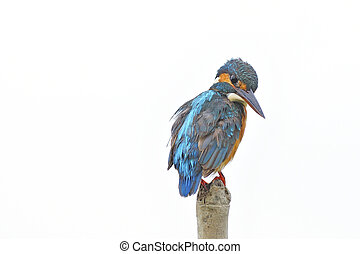 female Common Kingfisher - Beautiful female Common...