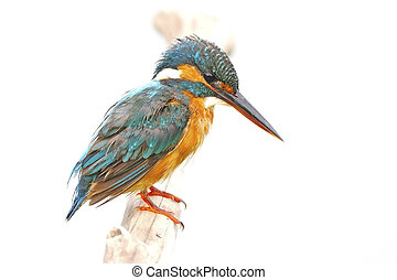 female Common Kingfisher - Portrait of beautiful female...