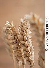 Ear of ripe golden wheat