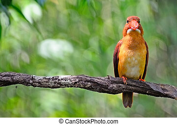 male Ruddy Kingfisher - Male Ruddy Kingfisher (Halcyon...