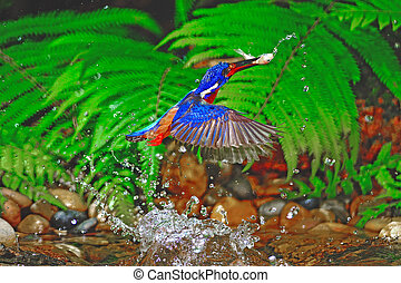 male Blued-eared Kingfisher - Catch jumping fish, male...