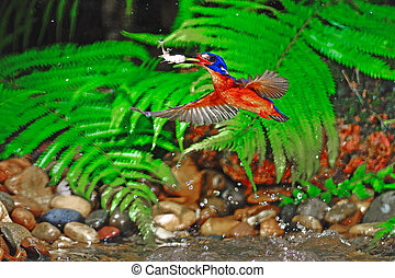 Blued-eared Kingfisher - Perfect catching fish, male...