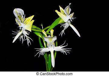 Pectelis susannae - Ground orchid, Pectelis susannae, laxly...