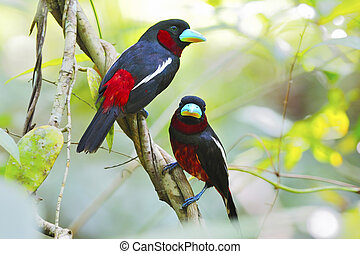 Black-and-Red Broadbill - A couple of Black-and-Red...