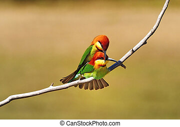 Chestnut-headed Bee eater - Mating Bee-eater,...