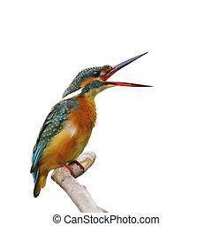Common Kingfisher (female) isolated on white background