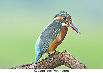 Common Kingfisher, eye-to-eye portrait