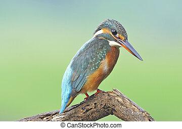 Common Kingfisher, eye-to-eye portrait