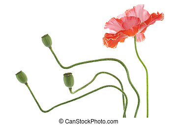 poppy - Studio Shot of Orange Colored Poppy Flower Isolated...