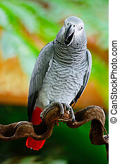African Grey Parrot - Beautiful grey parrot, African Grey...