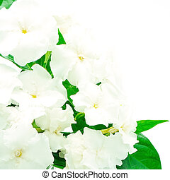 Crepe Jasmine or East Indian Rosebay (Ervatamia eornaria),...