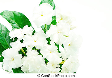 Crepe Jasmine or East Indian Rosebay Ervatamia eornaria,...