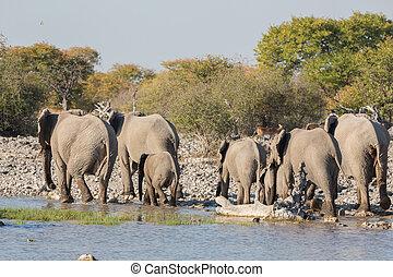 Elephants in Etosha - Group of Elephants leave waterhole in...