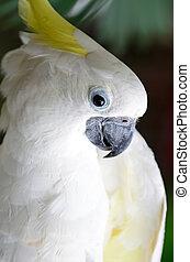 Sulphur-crested Cockatoo - Beautiful white Cockato,...