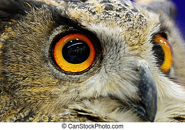 Eurasian Eagle Owl - Closeup eye of Eurasian Eagle Owl