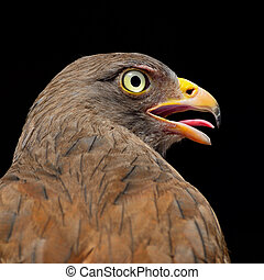 Rufous-winged Buzzard Butastur liventer, breast profile