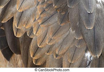 Black Kite feather - Black Kite (Milvus migrans) feather