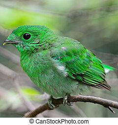 female Green Broadbill - Colorful green bird, a female Green...