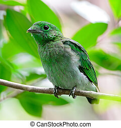 female Green Broadbill - Colorful green bird, a female Green...